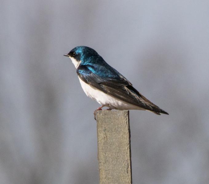 tree swallow            311sm