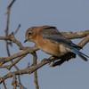 bluebird                   611