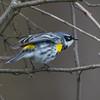 yellow rumped warbler          1611sm