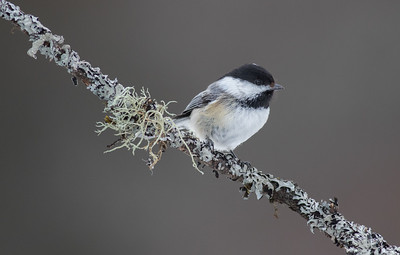 Chickadee on Lichen Covered Branch