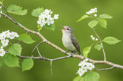 Warbling Vireo on Hawthorn