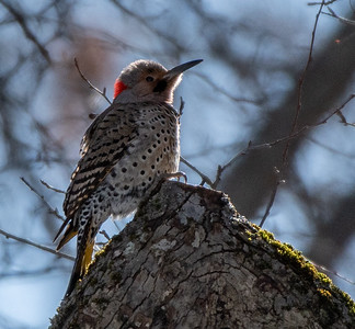 Northern Flicker backlit