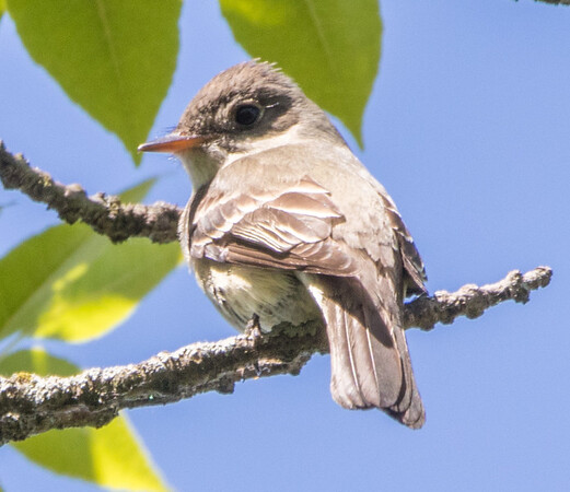 flycatcher     sm      2