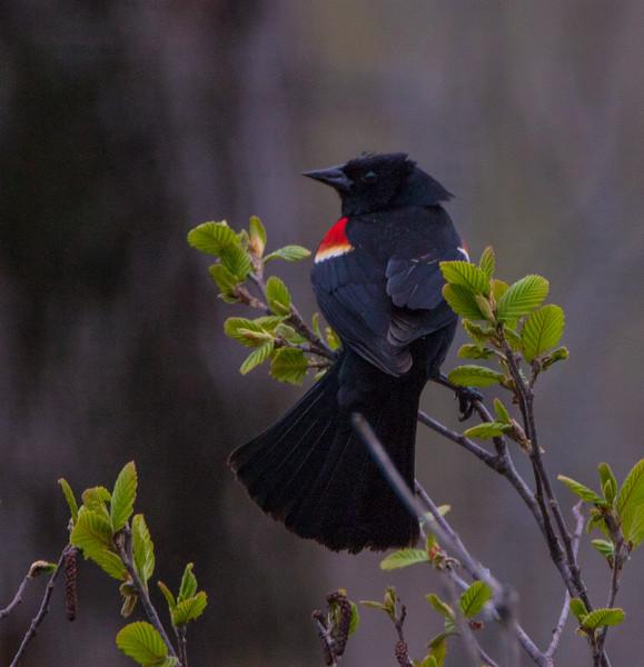 redwing blackbird           1311