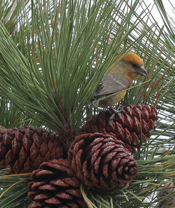 Red Crossbill, North Wenas Road, 2014