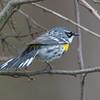 yellow rumped warbler          1511sm