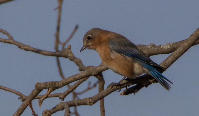bluebird                   1011