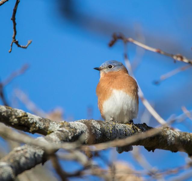 bluebird             1311