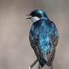 tree swallow          311