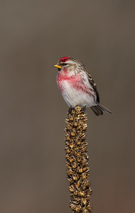 Common Redpoll on Mullein