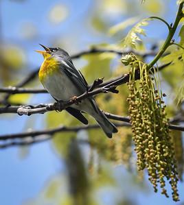 Northern Parula singing