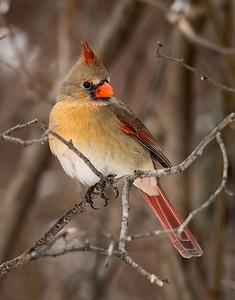 Lovely Mama Cardinal