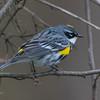 yellow rumped warbler          1411sm