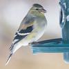 goldfinch  sm   5