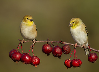 Goldfinches on Crabapple