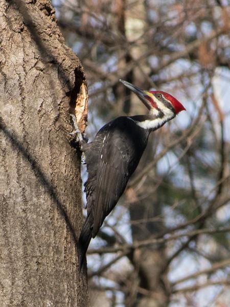 piliated woodpecker             310