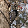 piliated woodpecker             310