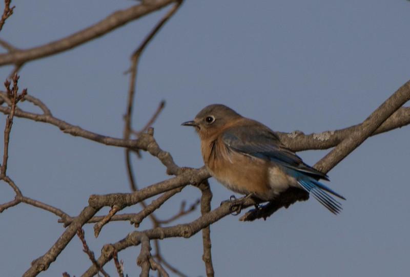 bluebird                   111