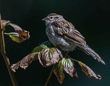 Chipping Sparrow juvenile