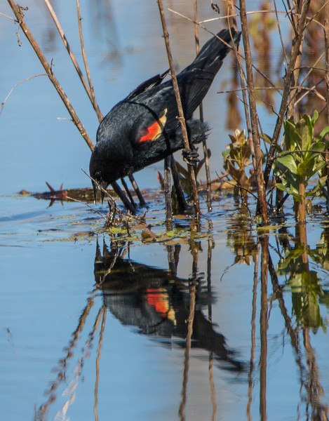 redwing blackbird          111