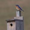 bluebird               2211sm
