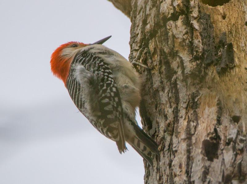 red bellied woodpecker    111
