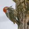 red bellied woodpecker    111
