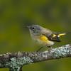 American Redstart - Female