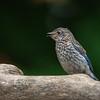 Juvenile Eastern Bluebird Songs