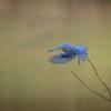Bluebird Departing
