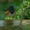 Rufouse-sided Towhee - male