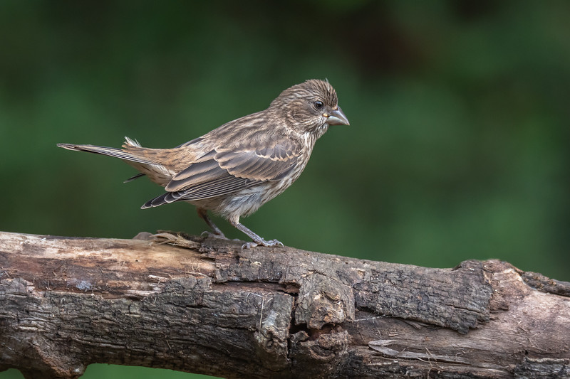 Female House finch - female