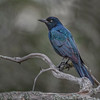 Common Grackle - male