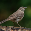 Mockingbird-Juvenile