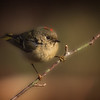 Ruby-crowned Kinglet - male