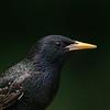 Portrait - European Starling