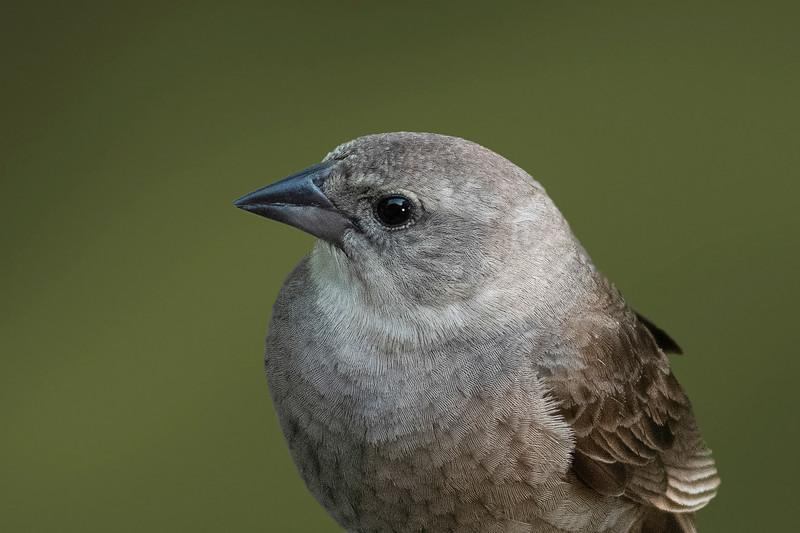Brown-headed Cowbird - Female