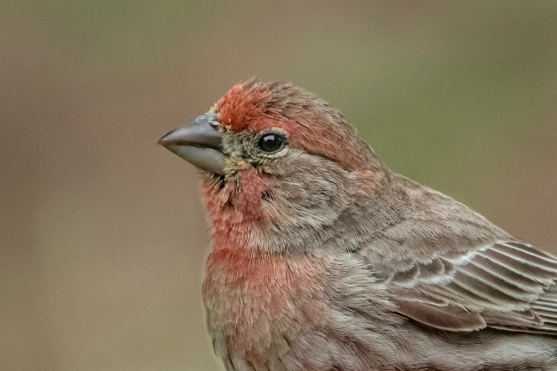 House Finch - Immature male