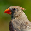 Northeastern Cardinal