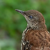 Brown Thrasher - Juvenile