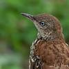Brown Thrasher - Juvenile