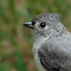 Tufted Titmouse - Juvenile