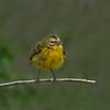 Wilson's Warbler - Female