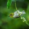Silvereye Warbler