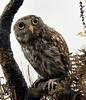 Athena, a Little Owl, Florence Nightingale's pet.