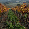 Fall in the vineyards near Crane Creek Regional Park