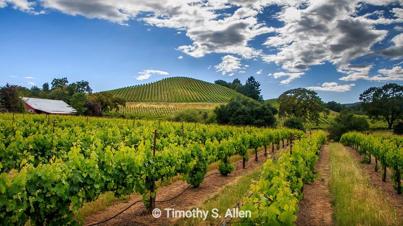Dry Creek Vineyard in Late Afternoon