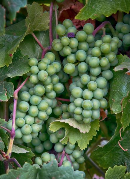 _DSC4438 Summer Grapes