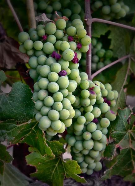 _DSC4437 Summer Grapes