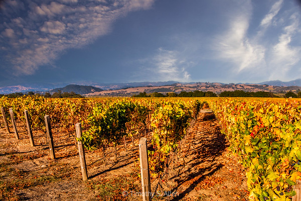 Late Afternoon in Sonoma Valley Wine Country